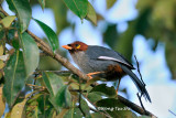 (Rhinocichla treacheri)  *Chestnut-hooded Laughing Thrush