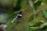(Enicurus borneensis)   *Bornean Forktail