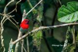 (Aethopyga temminckii)Temminck's Sunbird ♂