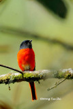 (Pericrocotus solaris)Grey-chinned Minivet ♂