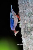 (Sitta frontalis) Velvet-fronted Nuthatch ♀