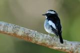 (Ficedula westermanni) Little Pied Flycatcher ♂
