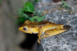 (Polypedates otilophus) File-eared Tree Frog