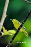 (Aegithina viridissima viridissima ) Green Iora ♀