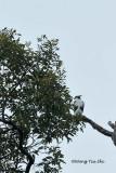 (Hieraaetus kienerii)Rufous-bellied Hawk-eagle Juvenile