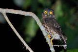(Ninox scutulata) Brown Hawk-owl