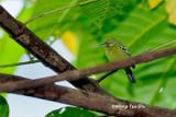 (Aegithina viridissima viridissima ) Green Iora ♂