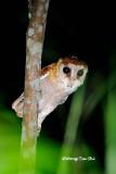 (Phodilus badius) Oriental Bay Owl