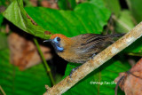 (Macronous ptilosus reclusus)Fluffy-backed Tit Babbler