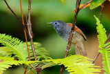(Stachyris erythroptera bicolor)Chestnut-winged Babbler