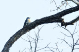 (Cuculus micropterus) Indian Cuckoo ♀