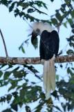 (Aceros comatus) White-crowned Hornbill ♂