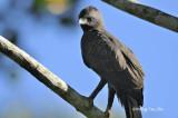 (Spizaetus cirrhatus)Changeable Hawk-eagle - Dark Morph