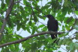 (Corvus enca) Slender-billed Crow