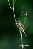 (Hemipus hirundinaceus) Black-winged Flycatcher-shrike ♀