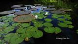 Sepilok - Water lily on the RDC lake