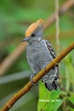 (Hemicircus concretus)Gray-and-buff Woodpecker ♂