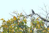 (Cuculus micropterus) Indian Cuckoo ♂
