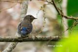 (Cyanoptila cyanomelana) Blue-and-white Flycatcher - First Winter ♂