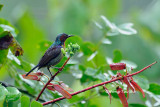 (Anthreptes rhodolaema) Red-throated Sunbird ♂
