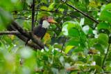 (Buceros vigil ) Helmeted Hornbill ♀