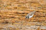 (Charadrius dubius)  Little Ringed Plover