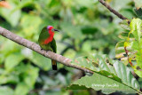 (Nyctyornis amictus) Red-bearded Bee-eater ♀