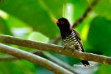 (Chrysococcyx xanthorhynchus) Violet Cuckoo ♂