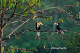 (Rhyticeros undulatus) Wreathed Hornbill