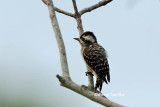 (Dendrocopos moluccensis)Brown-capped Woodpecker ♂