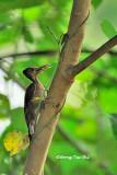 (Reinwardtipicus validus xanthopygius)Orange-backed Woodpecker Juvenile