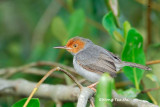 (Orthotomus ruficeps borneoensis) Red-headed Tailorbird ♂