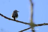 (Ficedula westermanni) Little Pied Flycatcher ♀