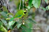 (Chloropsis kinabaluensis)*Bornean Leafbird