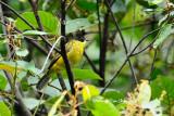 (Pycnonotus montis)*Bornean Bulbul