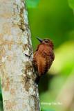 (Celeus brachyurus badiosus)Rufous Woodpecker ♀