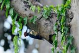 (Dryocopus javensis)White-bellied Woodpecker ♂