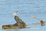 (Sterna albifrons) Little Tern