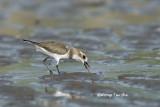 (Charadrius mongolus) Lesser Sand Plover