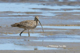 (Numenius madagascariensis) Far Eastern Curlew