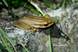 (Polypedates leucomystax) Four-lined Tree Frog