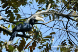 (Anthracoceros malayanus deminutus) Asian Black Hornbill ♂