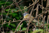 (Stachyris nigriceps borneensis)Grey-throated Babbler