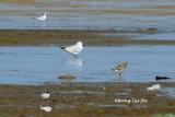 (Sterna nilotica) Gull-billed Tern