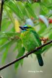 (Megalaima pulcherrima)*Golden-naped Barbet