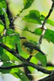 (Pachycephala hypoxantha hypocantha)*Bornean Whistler