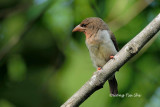 (Calorhamphus fuliginosus tertius) Brown Barbet