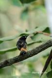 (Trichixos pyrropygus) Rufous-tailed Shama ♂