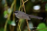 (Rhipidura albicollis) White-throated Fantail