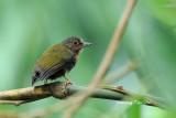 (Sasia abnormis abnormis)Rufous Piculet  Juv. ♂